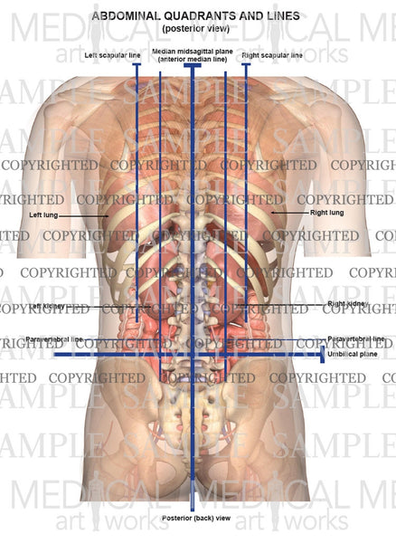 Abdominal quadrants and lines posterior view