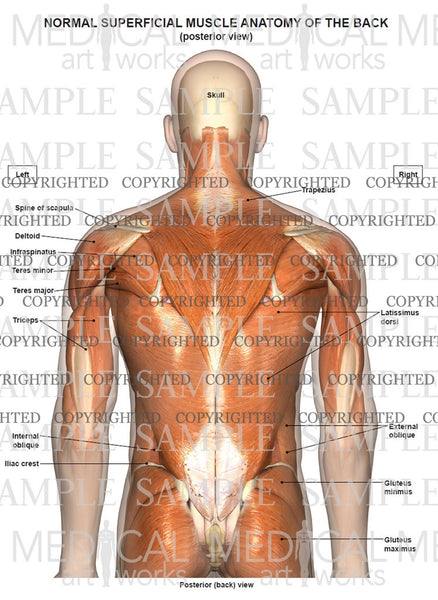 Normal anatomy of the superficial muscles of the back and neck