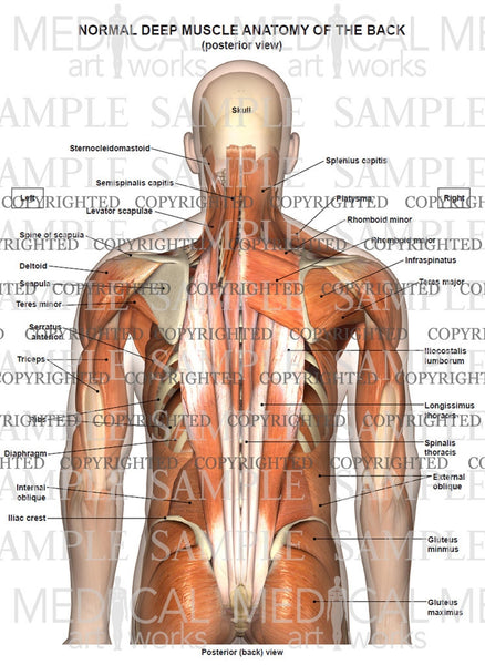 Normal anatomy of the deep muscles of the back and neck