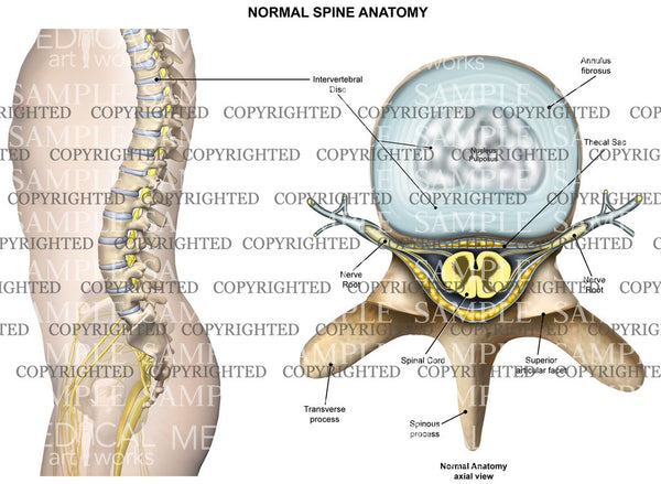 Normal anatomy of the thoracic spine