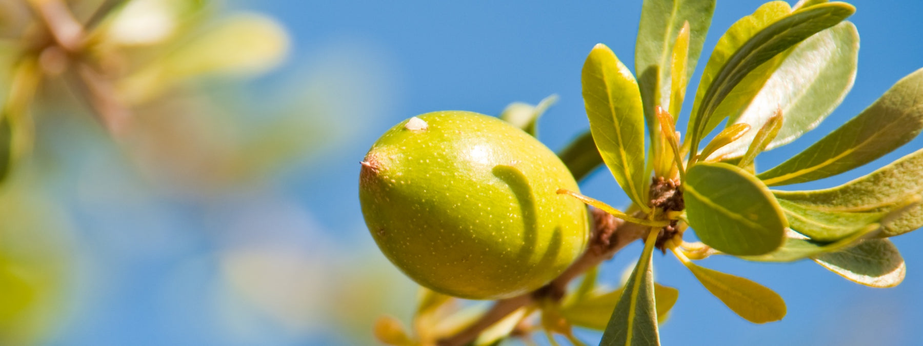 Argan Oil - Complete Guide to History, Uses, and Benefits