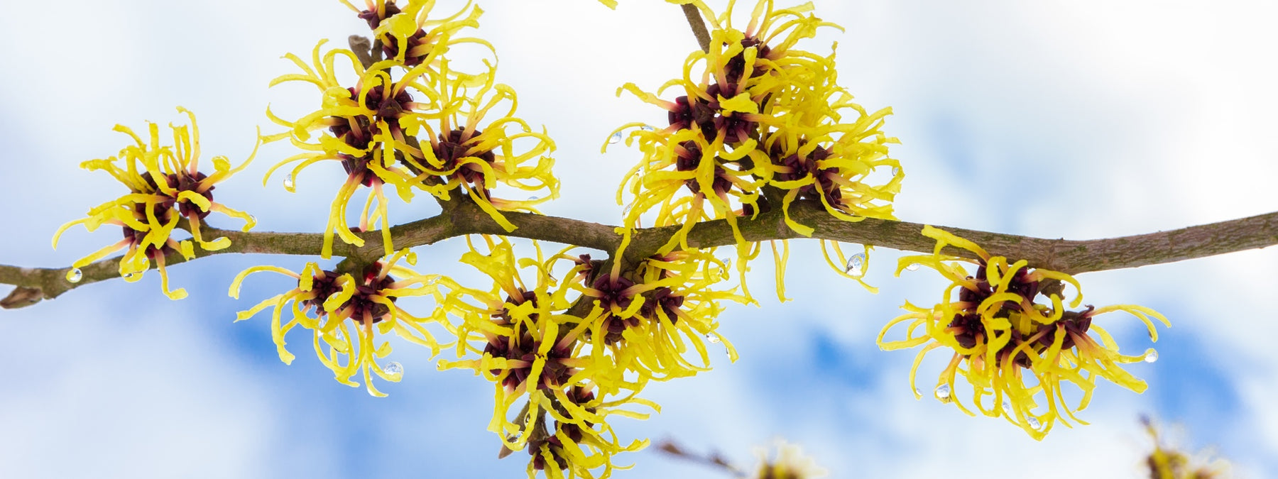 14 Witch Hazel Uses and Benefits