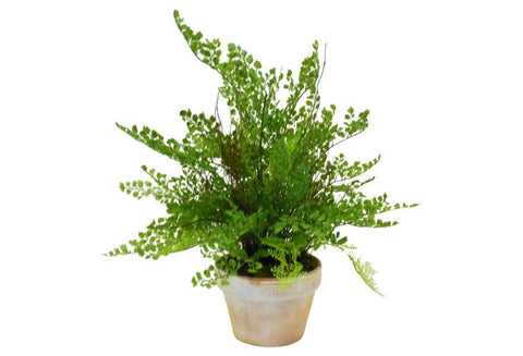 Maidenhair Fern in Terracotta Pot #1227