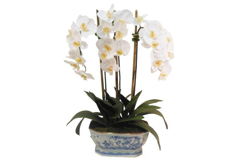 White Phalaenopsis Orchid in Blue and White Planter #1301