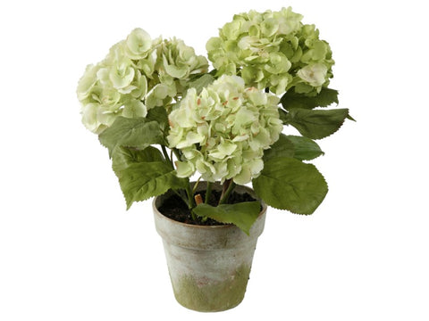 THREE WHITE HYDRANGEA POTTED 1P4064.GROO