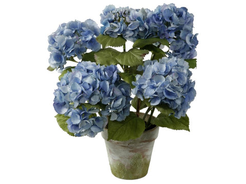MEDIUM BLUE HYDRANGEA POTTED  1P4065.LB00