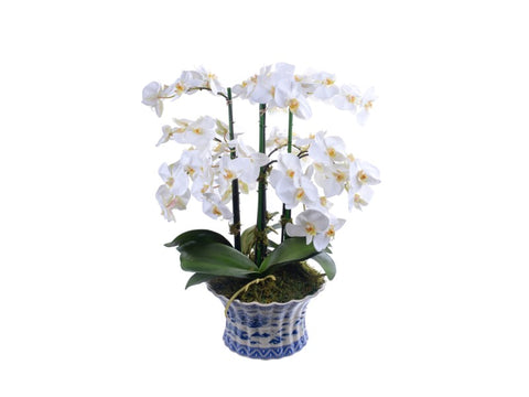 ORCHID PHALAENOPSIS IN POT #1P2061.WH