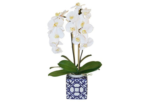Phalaenopsis Orchid in Square Pot #51015