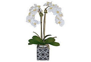 Phalaenopsis in Square Pot #51017