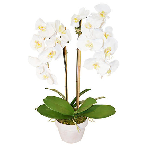 Phalaenopsis Plant in Pot #51203
