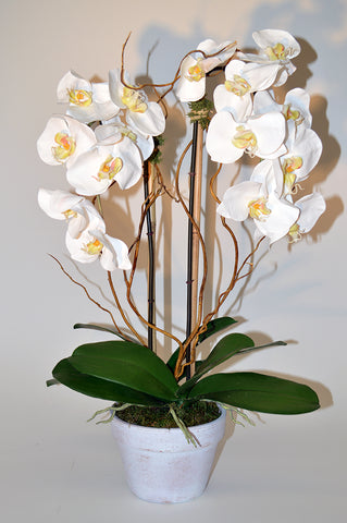 Phalaenopsis Orchid with Curly Willow #51267