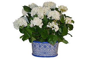 Hydrangea in Blue and White Oval Basin #51507