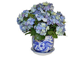 Blue Hydrangea in Blue and White Pot #51603