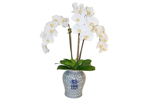 White Phalaenopsis in Blue and White Container #51815