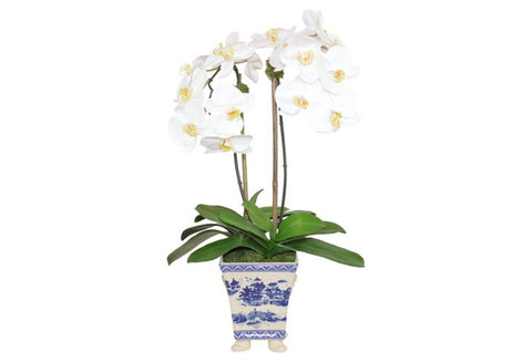 White Phal Orchids in a Footed Blue and White Container #52314