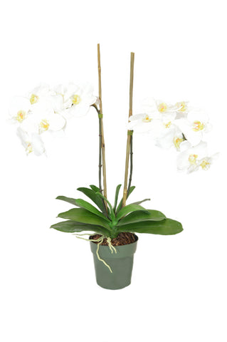 White Phal Orchids in pot #52738