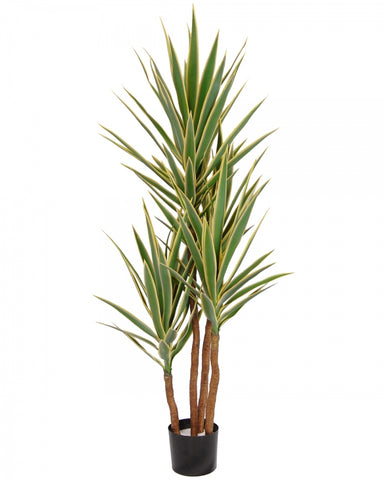 Yucca Trees in Pot #1G2203GNWH00