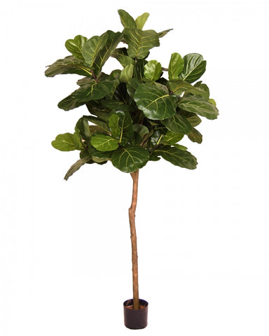 Brazil Fiddle Leaf Fig Tree #1G90067PTTGN00