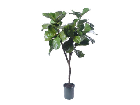 FIDDLE LEAF TREE S. 4'   #1PG80003.GR