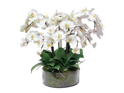Phalaenopsis Orchids in Cylinder Vase #1SDP346WH00