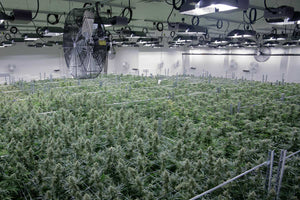 While Many Cannabis Cultivation Consultants Shy Away From Greenhouses, We Don't