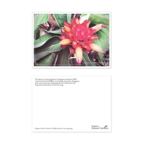 Costus Curvibrateatus - Photography Series