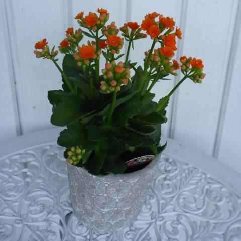 Kalanchoe plant cement pot