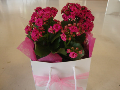 Kalanchoe Plant in  Gift Bag