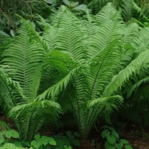 Matteuccia, Ostrich Fern, Colour Paradise, Kitchener Waterloo