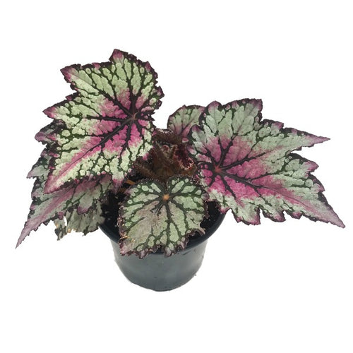 Begonia Rex Jurassic Green Streak, Colour Paradise,, Kitchener Waterloo