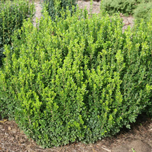 Buxus, boxwood, Colour Paradise, Kitchener Waterloo