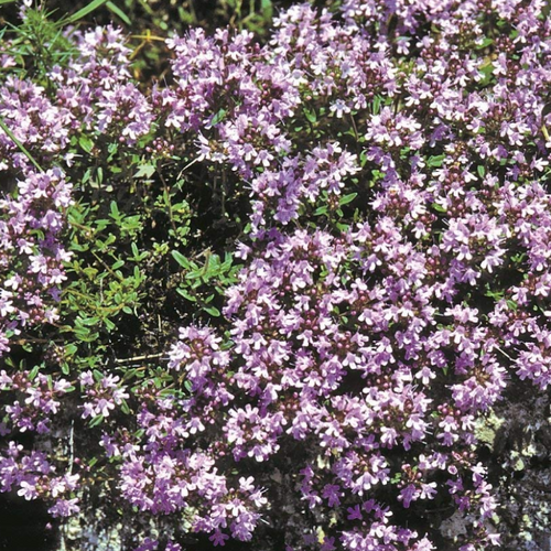 Thymus, Thyme, Mother of Thyme, Colour Paradise, Kitchener Waterloo