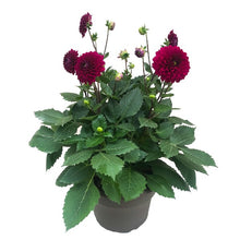 Load image into Gallery viewer, Dahlia Royal Purple, Coour Paradise, Kitchener Waterloo