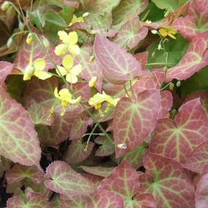 Epimedium Frohnleiten, Colour Paradise, Kitchener Waterloo