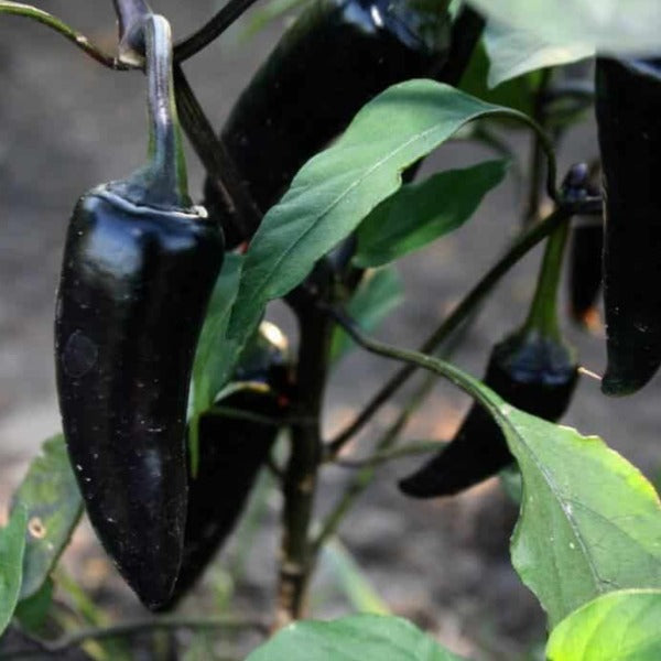 pepper Black Hungarian, Colour Paradise, Kitchener Waterloo