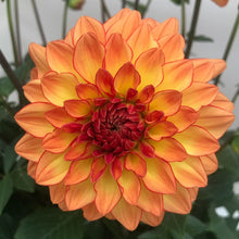 Load image into Gallery viewer, Dahlia Tequila Sunrise, Colour Paradise, Kitchener Waterloo