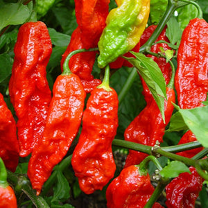 Pepper Bhut Jolokia Ghost, Colour Paradise, Kitchener Waterloo