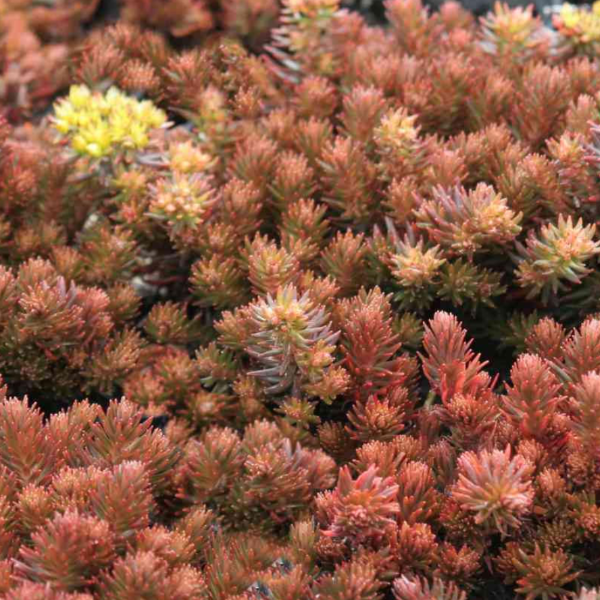 Sedum Chocolate Ball, Colour Paradise, Kitchener Waterloo