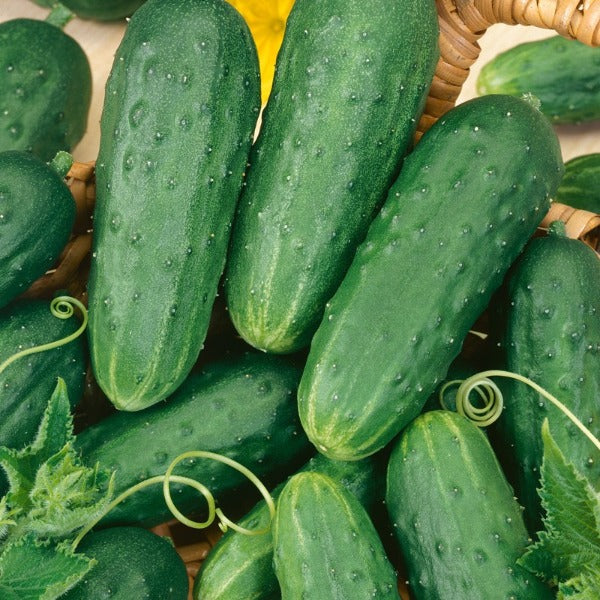 Cucumber 'Homemade Pickles'