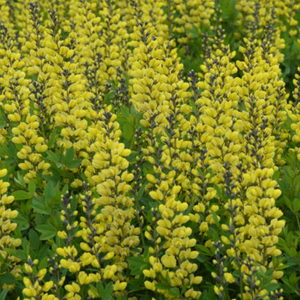 Baptisia Lemon Meringue, Colour Paradise, Kitchener Waterloo