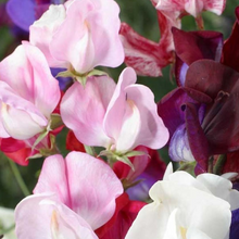 Load image into Gallery viewer, Sweet Pea