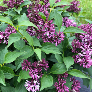 Syringa Baby Kim, Colour Paradise, Kitchener Waterloo