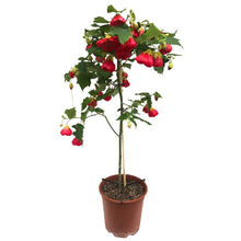 Load image into Gallery viewer, Abutilon standard treeform , assorted colours