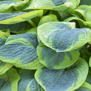Hosta Frances Williams, Colour Paradise, Kitchener Waterloo