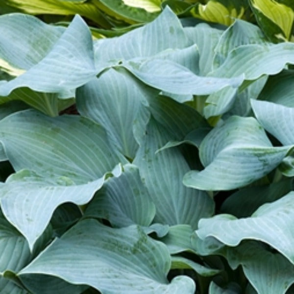 Hosta 'Blue Wedgewood'