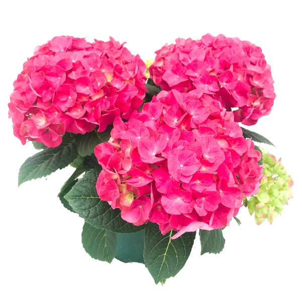Hydrangea Jip Pink, Colour Paradise, Kitchener Waterloo