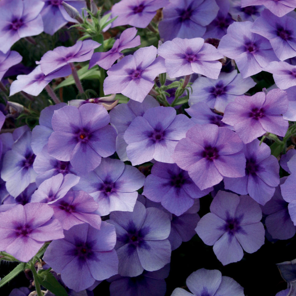 Phlox Intensia 'Blueberry'