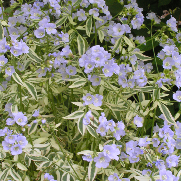 Polemonium Stairway to Heaven, Jacob's Ladder, Colour Paradise, Kitchener Waterloo