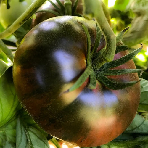 Tomato Black Seaman, Colour Paradise, Kitchener Waterloo