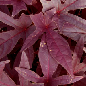 Potato Vine, Red